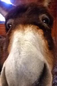 Here's a picture of Jenny - just because who couldn't use a dose of donkey cuteness??